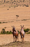 Two Topi Antelopes on duty Royalty Free Stock Photo