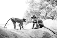 Two Toque Macaque Monkeys Gesture royalty free stock photography