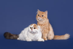Two Tortoise and red scottish highland cats on dark blue background Stock Images