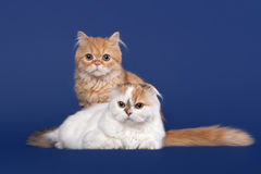 Two Tortoise and red scottish highland cats on dark blue background Stock Image