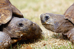 Two tortoises. Close together, one recoiling into his shell Royalty Free Stock Images