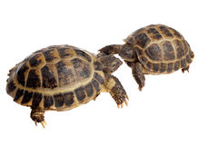 Two tortoises Royalty Free Stock Images
