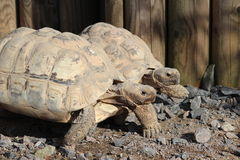 Two Tortoises Royalty Free Stock Photo