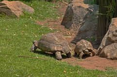 Two tortoises blow over slowly Royalty Free Stock Photography