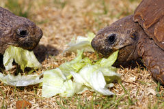 Two Tortoises eating lettuce leaves Royalty Free Stock Photography