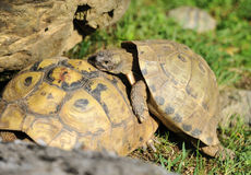 Two tortoises playing in the grass Royalty Free Stock Images