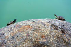Two tortoises. Resting on a rock in a pond for some sunshine Royalty Free Stock Photo