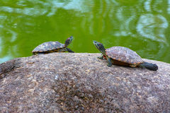 Two tortoises. Resting on a rock in a pond for some sunshine Royalty Free Stock Image
