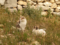 Two Tortoiseshell Cat Relaxing on the Wild Flower Field amongst the Ruins of Acropolis, Athens Royalty Free Stock Image