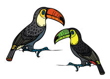 Two toucan. Two cartoon funny toucan on a white background. Vector illustration Royalty Free Stock Photography