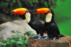 Two Toucans. A photo taken off two Toucans at a bird park Royalty Free Stock Photos