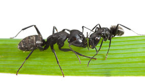 Two touching ants Stock Image