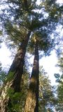 Two towering trees. Tall trees towering overhead Royalty Free Stock Photo