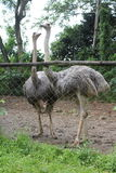 Two towers. Ostriches towering over a fence with their long necks Royalty Free Stock Photo
