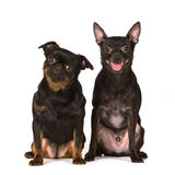Two toy dogs on white Stock Image