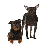 Two toy dogs on white Stock Images
