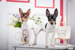 Two toy fox terrier Royalty Free Stock Photos