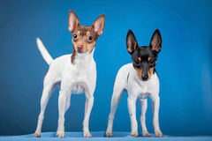 Two toy fox terriers Stock Photo
