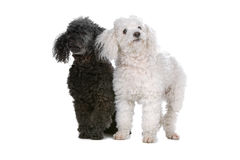 Two toy poodle puppies. Front view of two cute toy poodle puppies standing, one looking away, isolated on a white background Stock Image