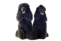 Two toy poodles Royalty Free Stock Images