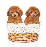 Two Toy Poodles of red color in a wicker basket. Two Toy Poodles of red color sits in a wicker basket on a white background. Baby animal theme, front view stock images