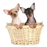 Two Toy Terrier Puppy In Wattled Basket Stock Photos