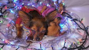 Two Toy Terrier is a yellow New Year`s dog. The Toy Terrier is a yellow New Year`s dog. Two dogs lie ridiculously and fall asleep. They are surrounded by stock video