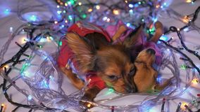 Two toy terrier is a yellow new year`s dog. The Toy Terrier is a yellow New Year`s dog. Two dogs lie ridiculously and fall asleep. They are surrounded by stock video footage