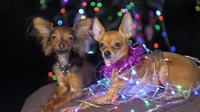Two Toy Terrier is a yellow New Year`s dog. Funny dogs lies on a pillow and looks around. Tinsel on her neck, around the garlands. Background of a fur-tree stock video