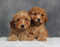 Two Toys. Two apricot toy poodles snuggling together royalty free stock photography