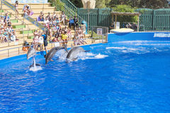 Two trained Dolphins jumping in a pool royalty free stock images