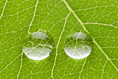 Two transparent drops on green leaf Royalty Free Stock Image