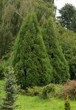 Two Tree arborvitae Stock Photography