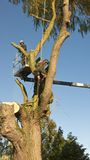 Two tree cutters at work on a large willow tree. Stock Photo