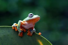 Two Tree frog, flying frog, frog on green leaves stock photography