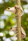 Two, Tree frog Stock Photography