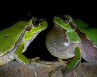 Two tree frogs look at each other on a black background. Two tree frogs (Hyla arborea schelkownikowi) look at each other on a black background. At night Royalty Free Stock Photography