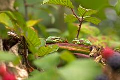 Two tree frogs are sitting on a branch in a bramble Royalty Free Stock Photography