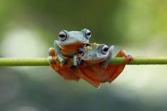 Two Tree Frogs on top of twigs. Javan gliding tree frog best friend Stock Photography