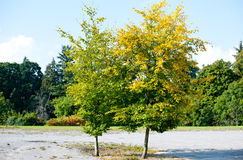 Two tree with green and yellow colour Royalty Free Stock Image