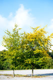 Two tree with green and yellow colour Royalty Free Stock Images