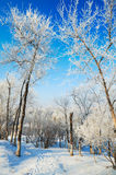 The two tree with rime and snow Royalty Free Stock Photos