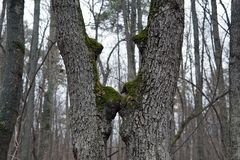 Two tree trunks curved towards each other royalty free stock images