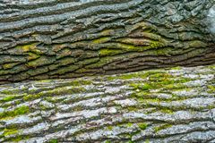 Two tree trunks texture and moss on them in the woods. Stock Images