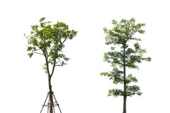 Two tree on white background. Concept for save environment Stock Images