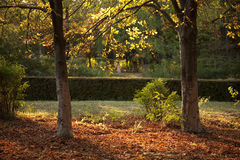 Two trees. Symmetrical trees in the park in autumn Royalty Free Stock Photo