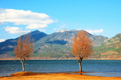 Two trees. Be located in the Chinese Yunnan Province Li Jiang  2 tree of La Si lakeside Royalty Free Stock Photos