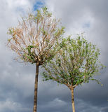 Two trees against the sky. Two trees on a background of gray stormy sky Royalty Free Stock Photo