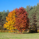 Two trees in autumn Stock Photography