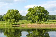 Two trees on the bank of the river in the background of the forest. Two trees on the bank of the river on a background of forest and blue sky with clouds stock photos